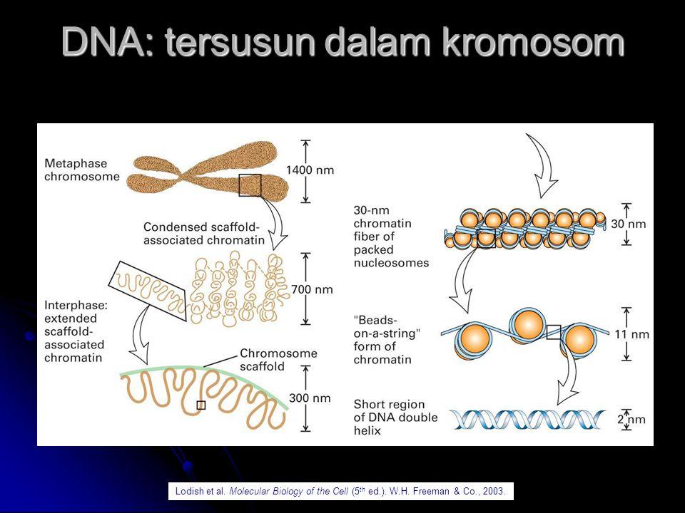 DNA: di-splid oleh gen-gen gene promoterExon 1 Exon 2 Exon 3 Intron 1 Intron 2 Gen merupakan bagian dari DNA yang membawa informasi untuk membentuk protein.