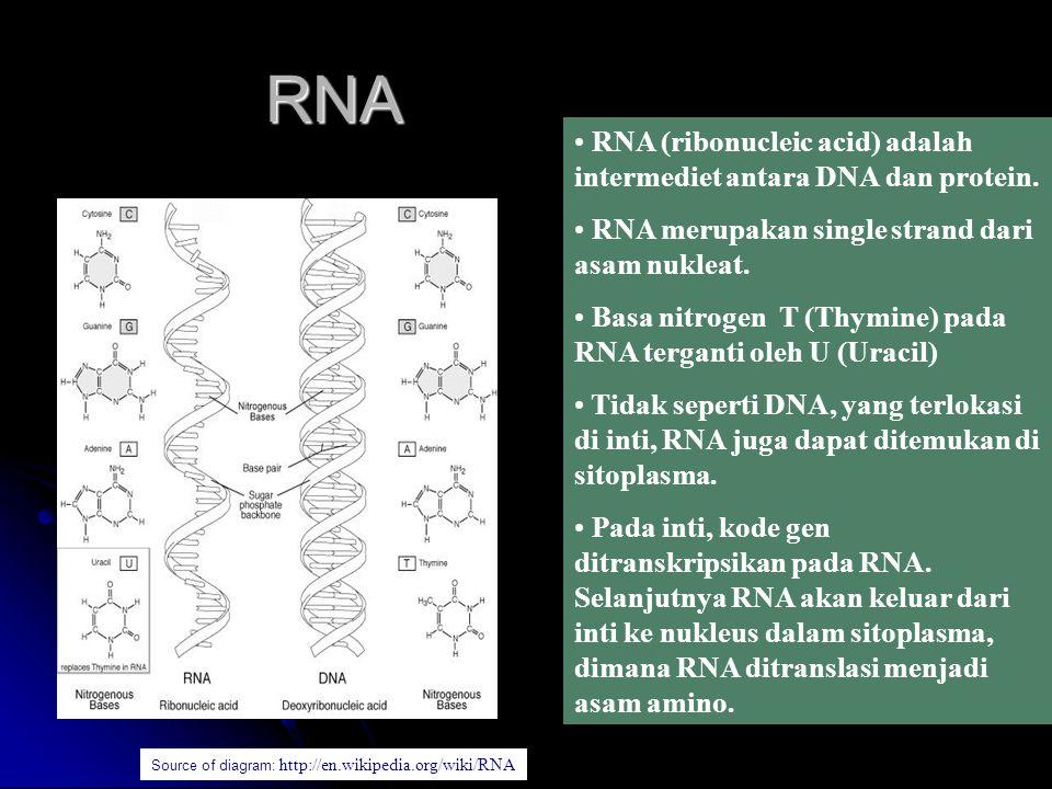 RNA Source of diagram: http://en.wikipedia.org/wiki/RNA RNA (ribonucleic acid) adalah intermediet antara DNA dan protein. RNA merupakan single strand