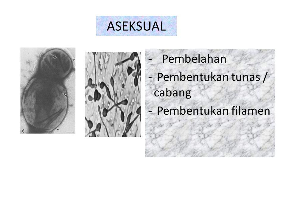 - Pembelahan - Pembentukan tunas / cabang - Pembentukan filamen ASEKSUAL