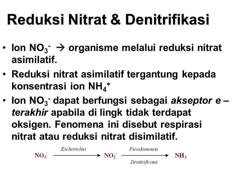 Reduksi Nitrat & Denitrifikasi Ion NO 3 -  organisme melalui reduksi nitrat asimilatif. Reduksi nitrat asimilatif tergantung kepada konsentrasi ion N