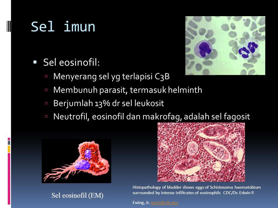 Sel imun  Sel eosinofil:  Menyerang sel yg terlapisi C3B  Membunuh parasit, termasuk helminth  Berjumlah 13% dr sel leukosit  Neutrofil, eosinofil dan makrofag, adalah sel fagosit Sel eosinofil (EM) Histopathology of bladder shows eggs of Schistosoma haematobium surrounded by intense infiltrates of eosinophils CDC/Dr.