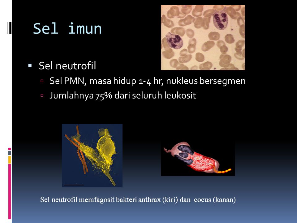 Sel imun  Sel eosinofil:  Menyerang sel yg terlapisi C3B  Membunuh parasit, termasuk helminth  Berjumlah 13% dr sel leukosit  Neutrofil, eosinofil dan makrofag, adalah sel fagosit Sel eosinofil (EM) Histopathology of bladder shows eggs of Schistosoma haematobium surrounded by intense infiltrates of eosinophils CDC/Dr.