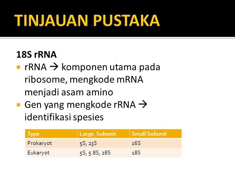 18S rRNA  rRNA  komponen utama pada ribosome, mengkode mRNA menjadi asam amino  Gen yang mengkode rRNA  identifikasi spesies TypeLarge SubunitSmal