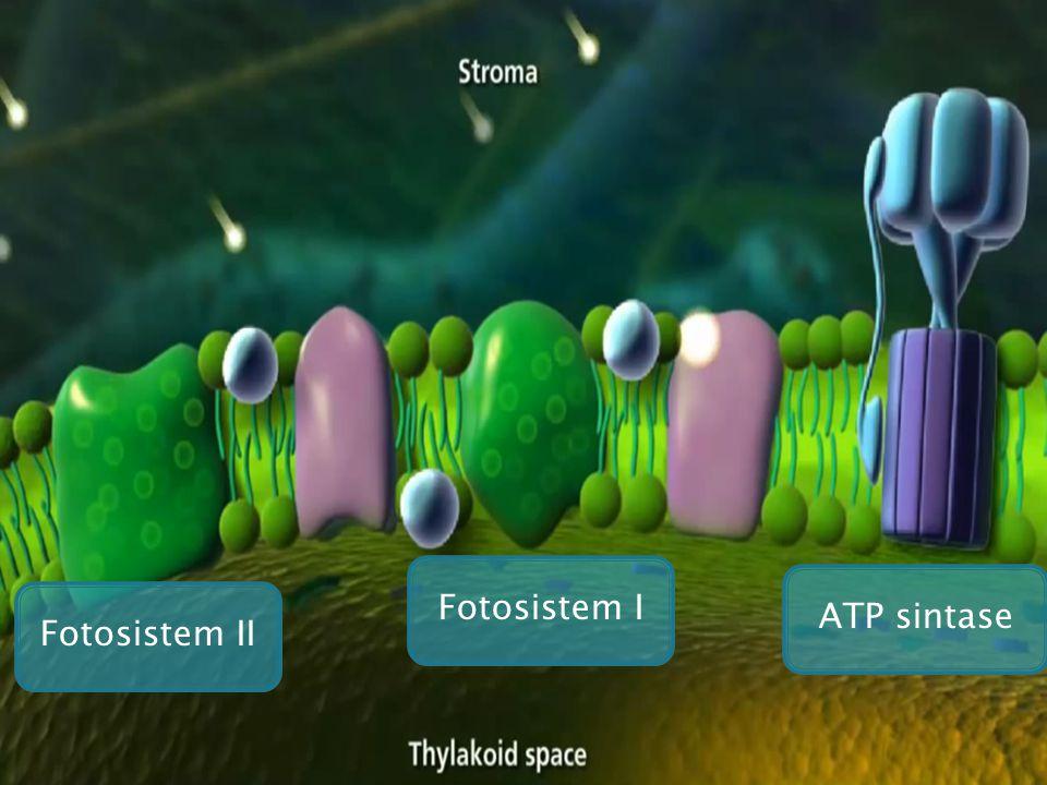 Fotosistem I Fotosistem II ATP sintase