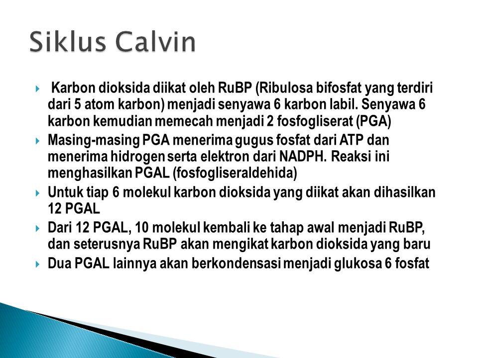  Karbon dioksida diikat oleh RuBP (Ribulosa bifosfat yang terdiri dari 5 atom karbon) menjadi senyawa 6 karbon labil. Senyawa 6 karbon kemudian memec