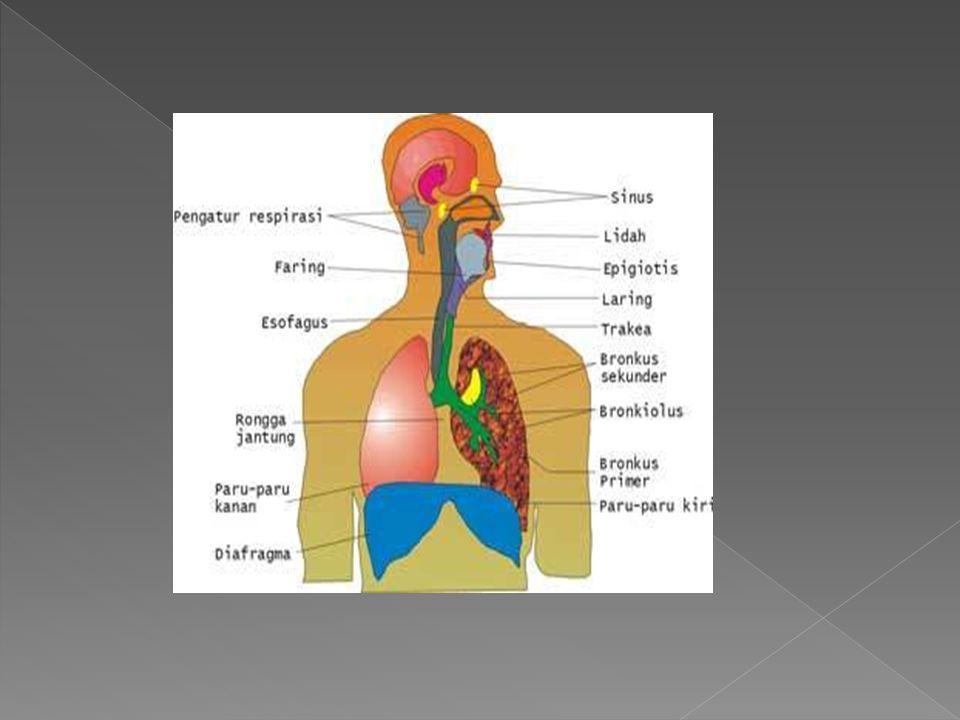  Rongga hidung dan nasal  Faring  Laring  Trakea  Percabangan bronkus  Paru-paru