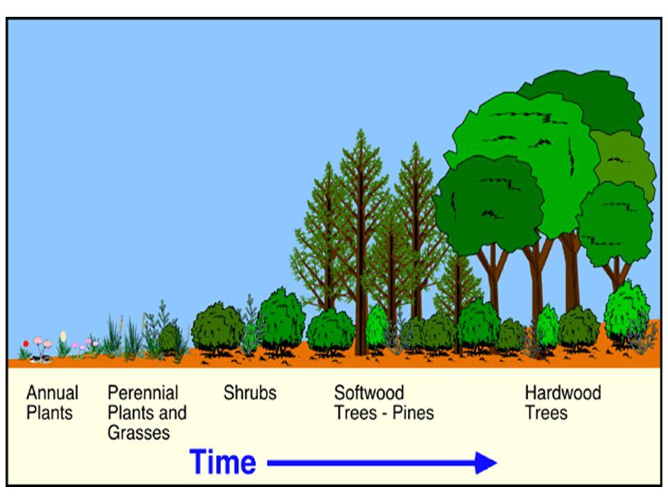 Proses suksesi ini merupakan hasil modifikasi lingkungan fisik oleh komunitas (Biotis) Dengan demikian dapat dikatakan bahwa suksesi mempelajari perubahan vegetasi pada suatu habitat, dalam perjalanan waktu, hingga tercapai stabilisasi (= Keseimbangan dinamis dengan lingkungan) dalam bentuk vegetasi klimaks- stabil