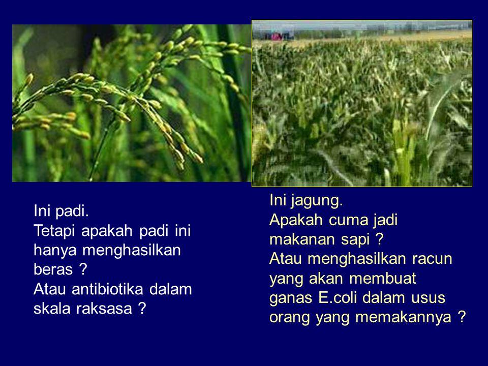 Ini padi. Tetapi apakah padi ini hanya menghasilkan beras ? Atau antibiotika dalam skala raksasa ? Ini jagung. Apakah cuma jadi makanan sapi ? Atau me