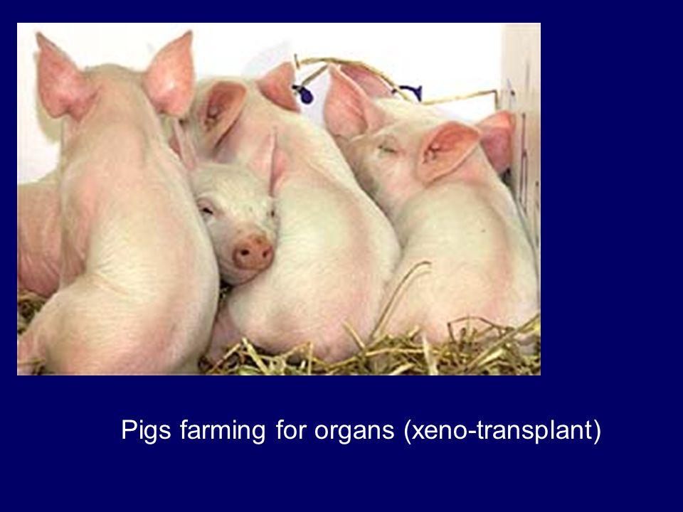 Pigs farming for organs (xeno-transplant)