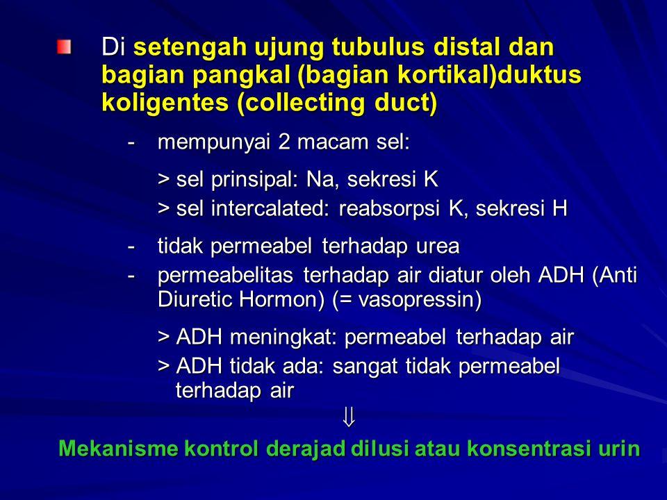 Di setengah ujung tubulus distal dan bagian pangkal (bagian kortikal)duktus koligentes (collecting duct) -mempunyai 2 macam sel: > sel prinsipal: Na,