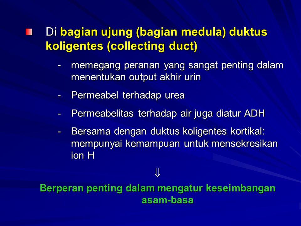 Di bagian ujung (bagian medula) duktus koligentes (collecting duct) -memegang peranan yang sangat penting dalam menentukan output akhir urin -Permeabe