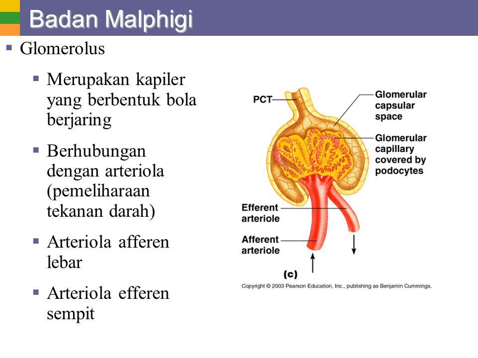 Badan Malphigi  Glomerolus  Merupakan kapiler yang berbentuk bola berjaring  Berhubungan dengan arteriola (pemeliharaan tekanan darah)  Arteriola