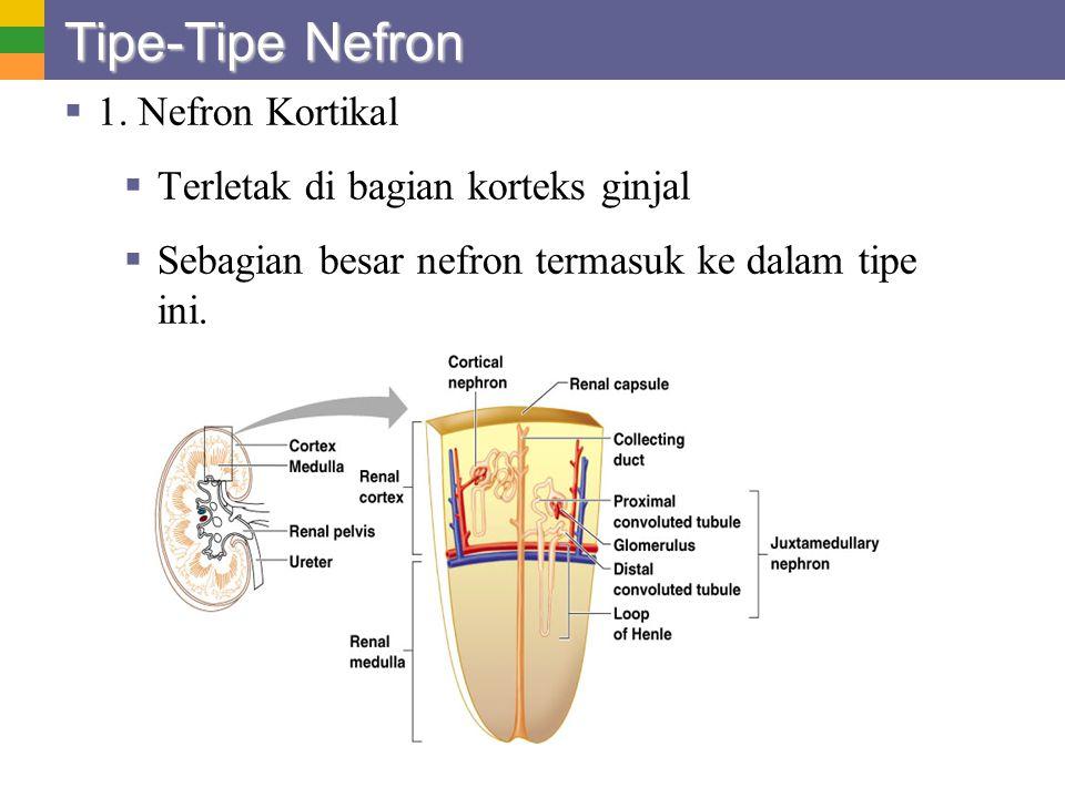 Tipe-Tipe Nefron  1. Nefron Kortikal  Terletak di bagian korteks ginjal  Sebagian besar nefron termasuk ke dalam tipe ini.