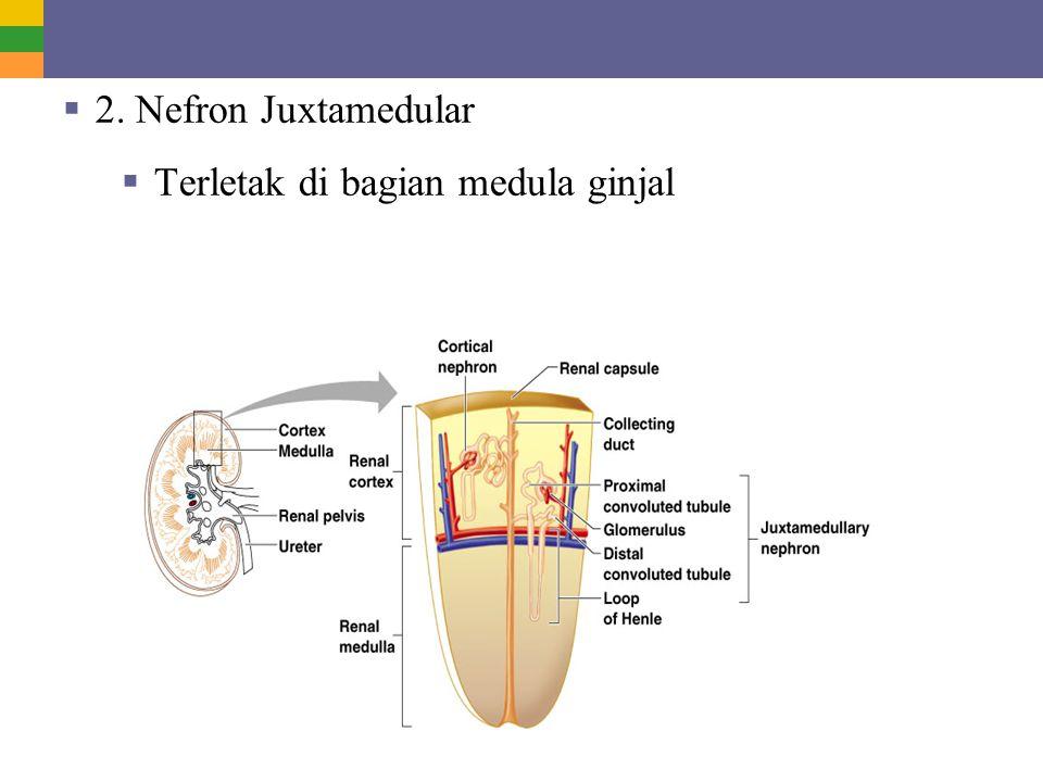  2. Nefron Juxtamedular  Terletak di bagian medula ginjal