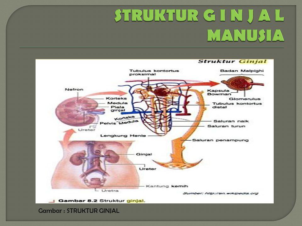  Ginjal merupakan organ ganda yang terletak di daerah abdomen, retroperitoneal antara vetebra lumbal 1 dan 4.
