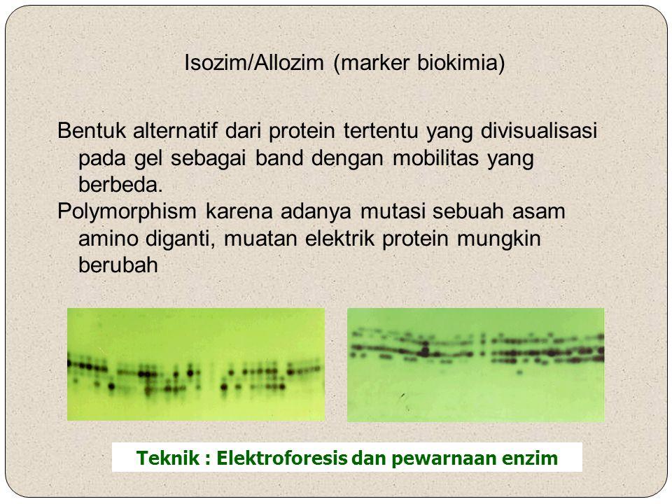 Isozim/Allozim (marker biokimia) Teknik : Elektroforesis dan pewarnaan enzim Bentuk alternatif dari protein tertentu yang divisualisasi pada gel sebagai band dengan mobilitas yang berbeda.