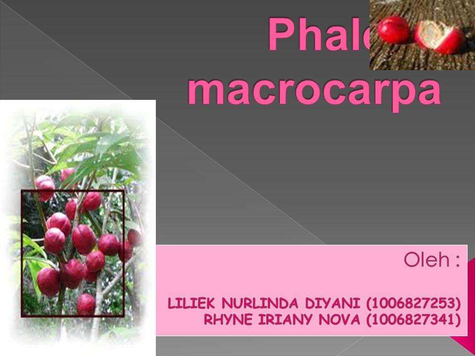  Deskripsi tanaman Phaleria macrocarpa. Kandungan kimia & simplisia tanaman Phaleria macrocarpa.