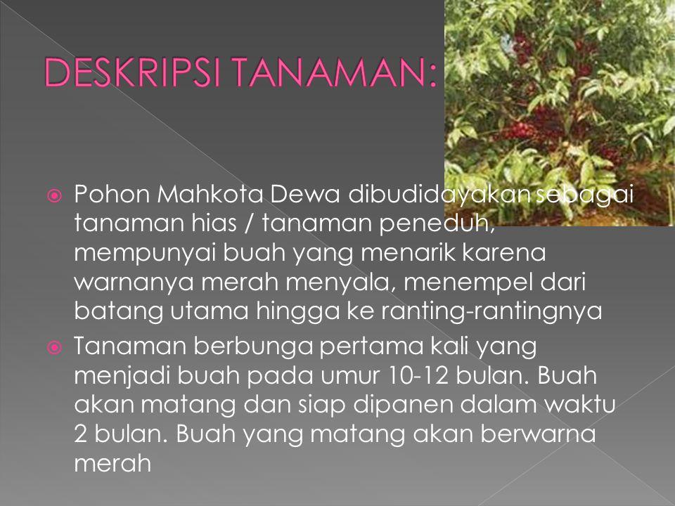  Pohon Mahkota Dewa dibudidayakan sebagai tanaman hias / tanaman peneduh, mempunyai buah yang menarik karena warnanya merah menyala, menempel dari ba