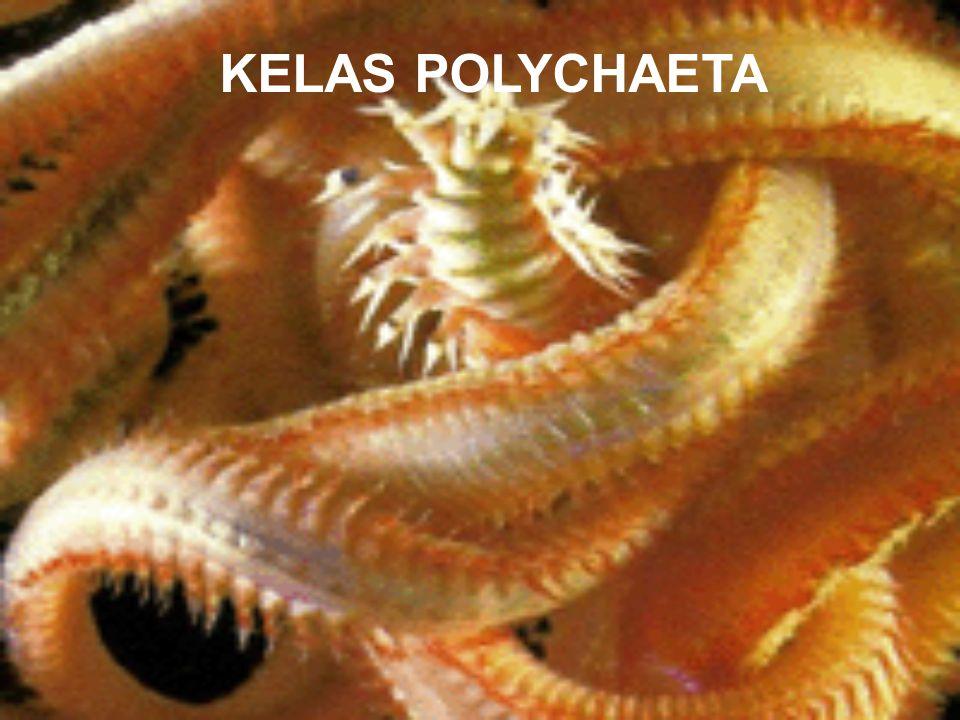 KELAS POLYCHAETA
