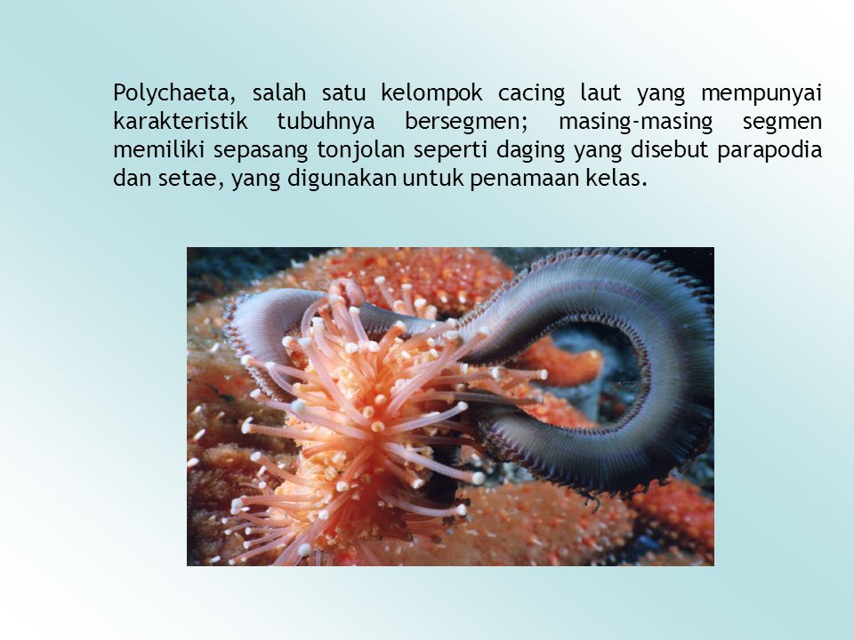 Polychaeta, salah satu kelompok cacing laut yang mempunyai karakteristik tubuhnya bersegmen; masing-masing segmen memiliki sepasang tonjolan seperti d