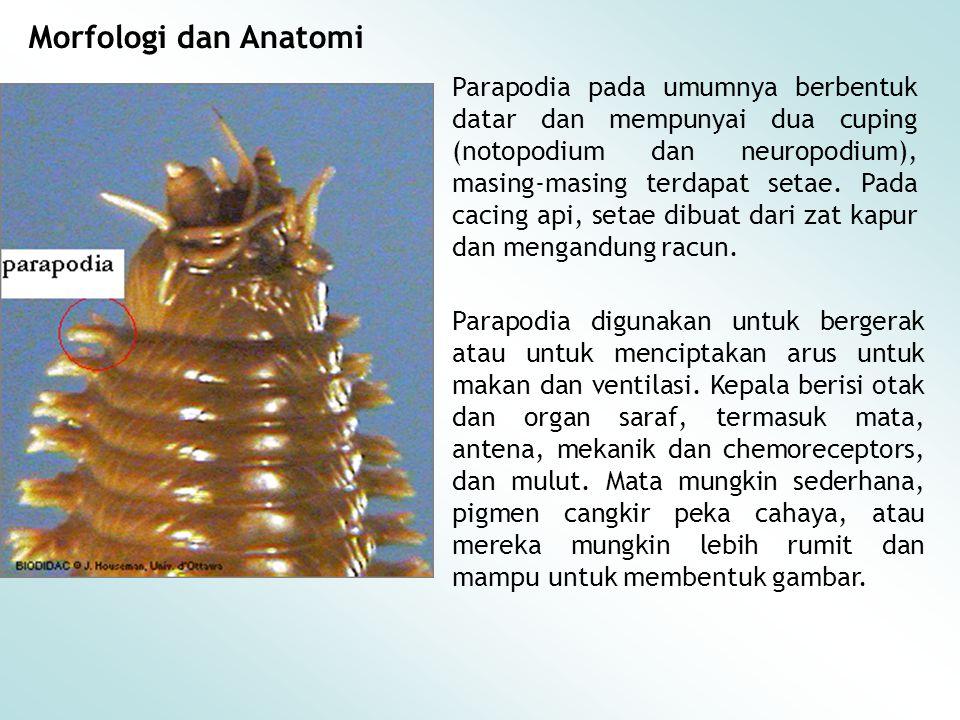 Morfologi dan Anatomi Parapodia pada umumnya berbentuk datar dan mempunyai dua cuping (notopodium dan neuropodium), masing-masing terdapat setae. Pada