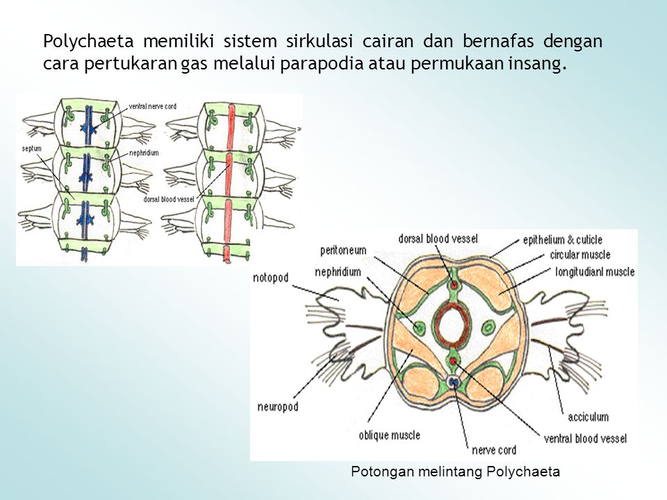 Polychaeta memiliki sistem sirkulasi cairan dan bernafas dengan cara pertukaran gas melalui parapodia atau permukaan insang. Potongan melintang Polych