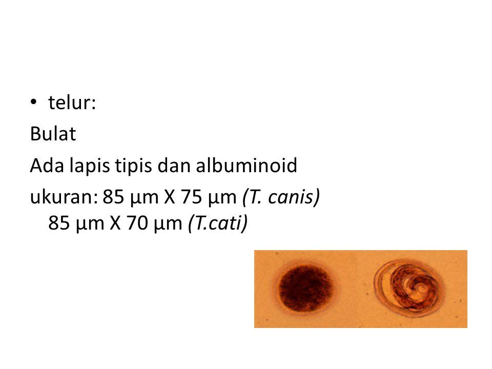telur: Bulat Ada lapis tipis dan albuminoid ukuran: 85 µm X 75 µm (T. canis) 85 µm X 70 µm (T.cati)