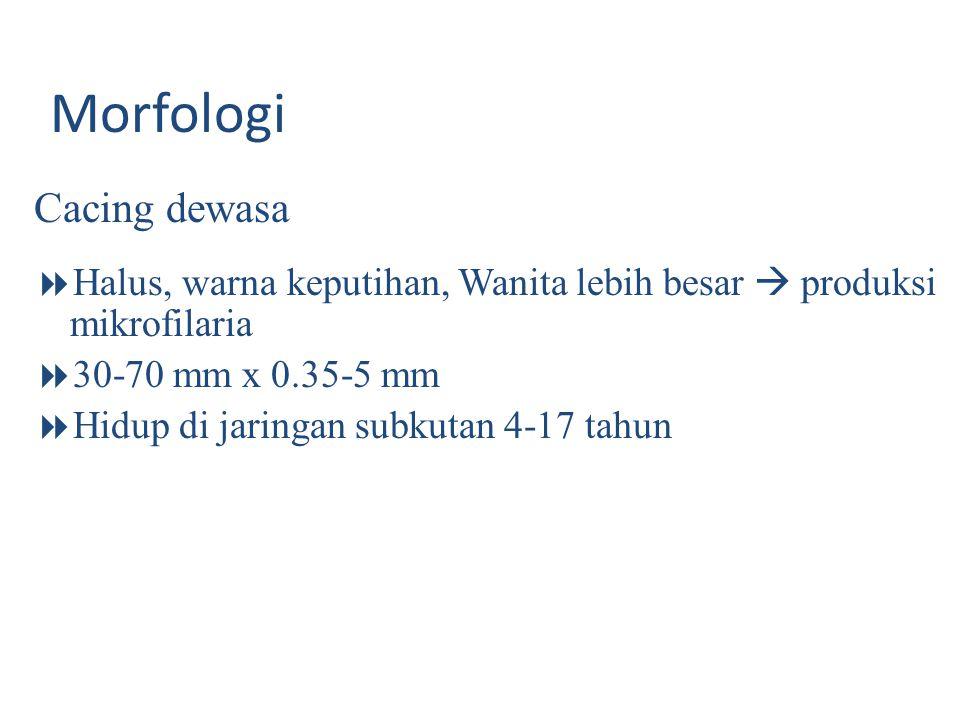 Onchocerca volvulus Cacing dewasa Filariform, putih Hidup di subkutan/otot, 10-15 tahun Cacing wanita  produksi mikrofilaria 1000- 3000 mf/hari