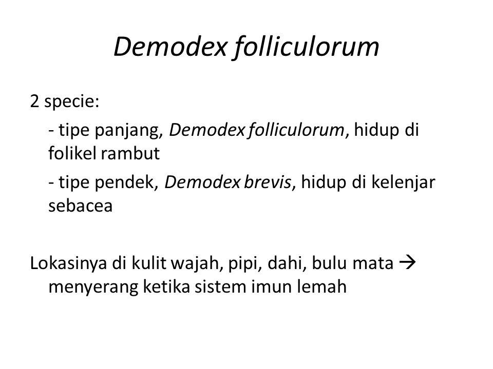 Demodex folliculorum 2 specie: - tipe panjang, Demodex folliculorum, hidup di folikel rambut - tipe pendek, Demodex brevis, hidup di kelenjar sebacea