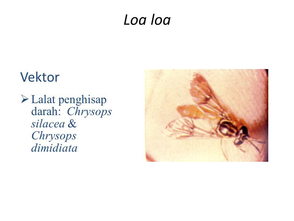Loa loa Vektor  Lalat penghisap darah: Chrysops silacea & Chrysops dimidiata