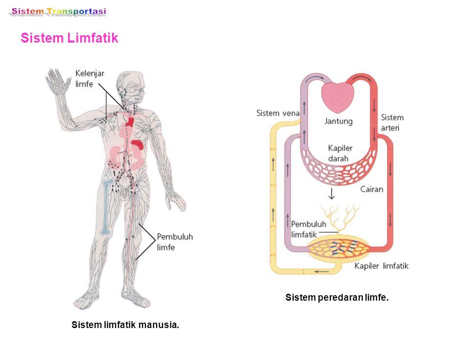 Sistem Limfatik Sistem limfatik manusia. Sistem peredaran limfe.