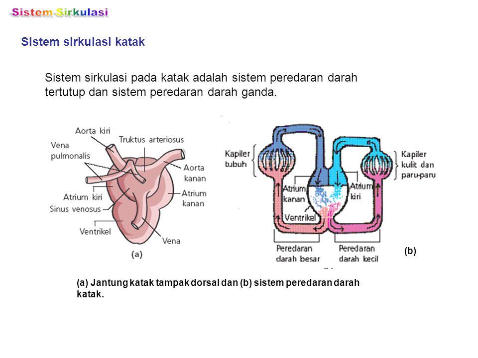 Sistem sirkulasi katak Sistem sirkulasi pada katak adalah sistem peredaran darah tertutup dan sistem peredaran darah ganda. (b) (a) Jantung katak tamp