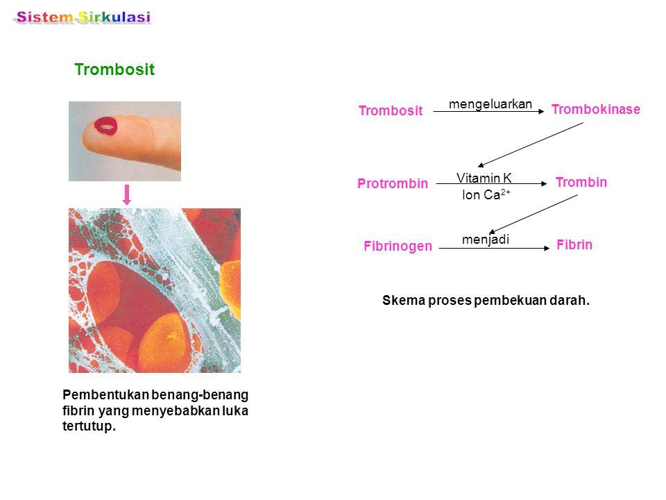 Pembentukan benang-benang fibrin yang menyebabkan luka tertutup. Trombosit Skema proses pembekuan darah. Trombosit Trombokinase mengeluarkan Protrombi