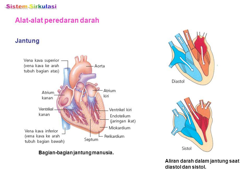 Alat-alat peredaran darah Jantung Bagian-bagian jantung manusia. Aliran darah dalam jantung saat diastol dan sistol.