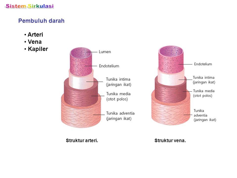 Pembuluh darah Struktur arteri. Arteri Vena Kapiler Struktur vena.