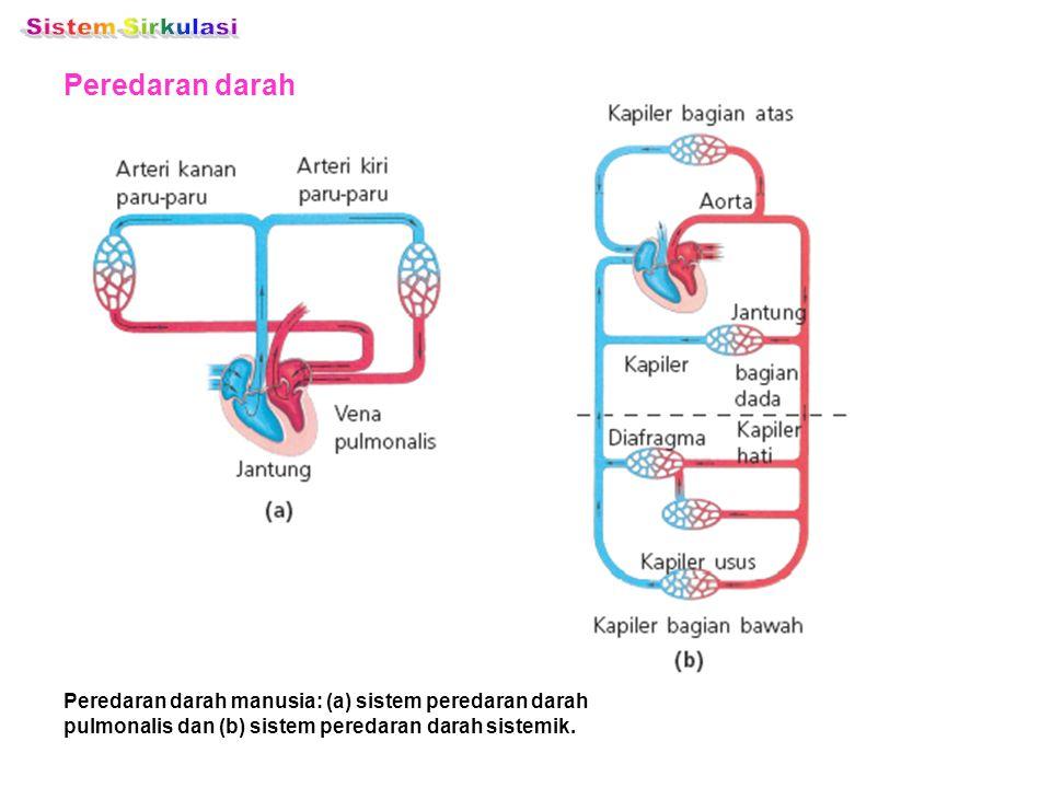 Peredaran darah Peredaran darah manusia: (a) sistem peredaran darah pulmonalis dan (b) sistem peredaran darah sistemik.