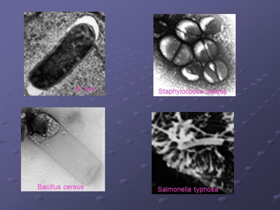 Salmonella typhosa Bacillus cereus E. coli Staphylococcu aureus