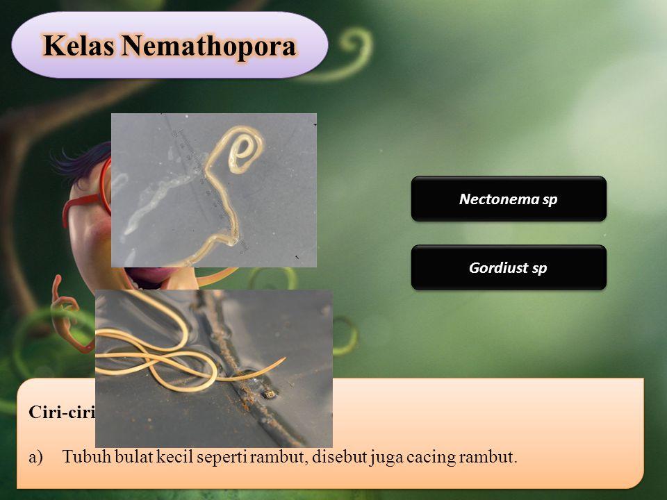 Ciri-ciri Nematoda: a)Tubuh bulat kecil seperti rambut, disebut juga cacing rambut. Ciri-ciri Nematoda: a)Tubuh bulat kecil seperti rambut, disebut ju
