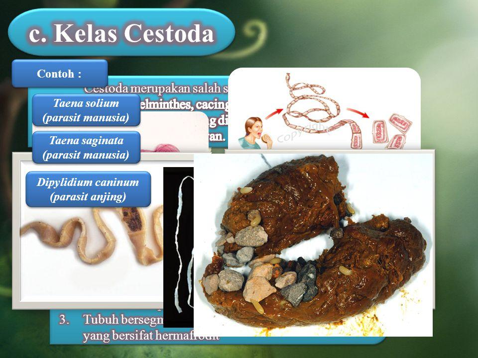 Contoh : Taena solium (parasit manusia) Taena saginata (parasit manusia) Dipylidium caninum (parasit anjing)