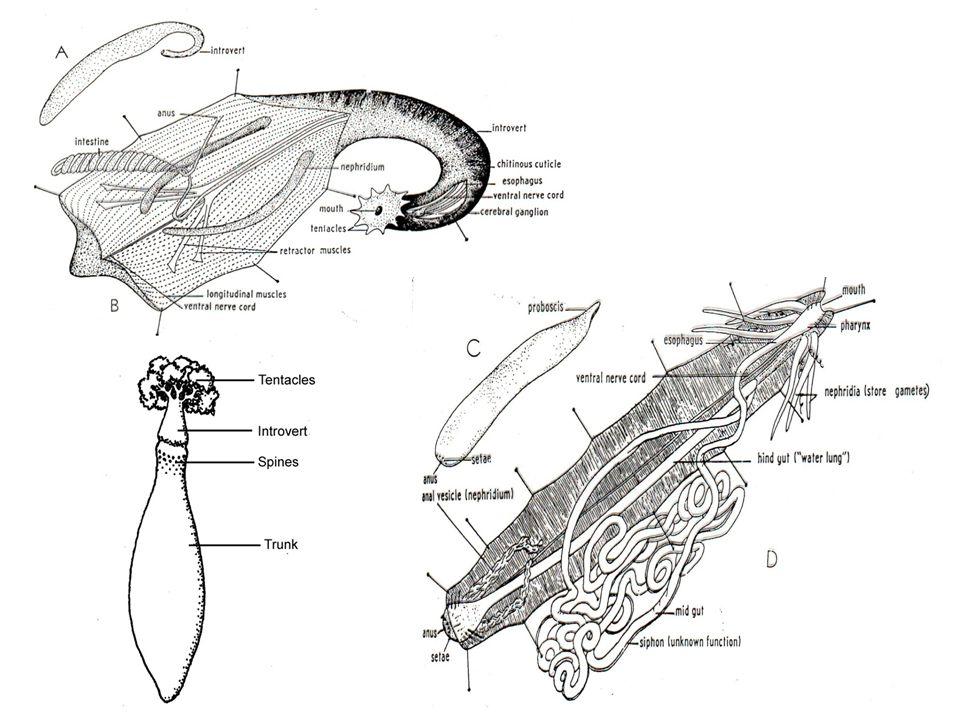 Reproduksi  Alat kelamin jantan dan betina terpisah (uniseksual)  Dioecious  Fertilisasi eksternal di air laut, kecuali Bonelia telur dibuahi di nepridia.
