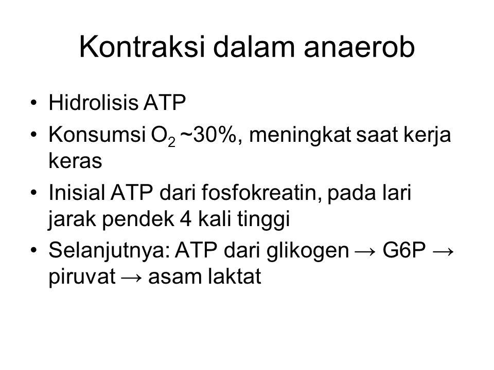 Kontraksi dalam anaerob Hidrolisis ATP Konsumsi O 2 ~30%, meningkat saat kerja keras Inisial ATP dari fosfokreatin, pada lari jarak pendek 4 kali ting