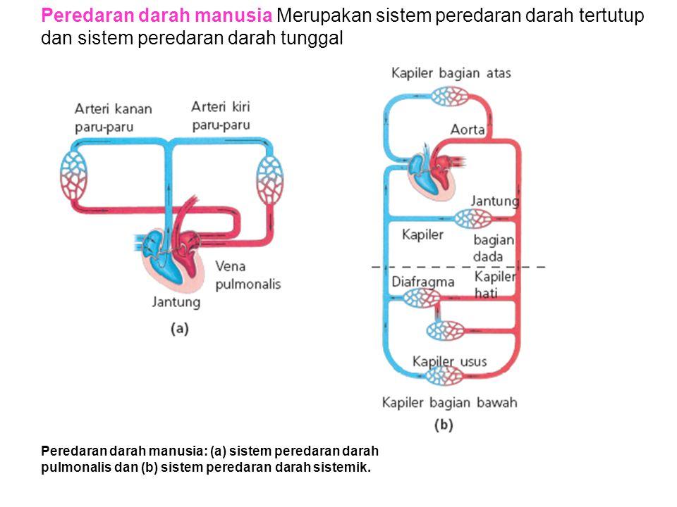Peredaran darah manusia Merupakan sistem peredaran darah tertutup dan sistem peredaran darah tunggal Peredaran darah manusia: (a) sistem peredaran dar