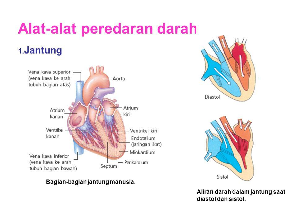 Alat-alat peredaran darah 1. Jantung Bagian-bagian jantung manusia. Aliran darah dalam jantung saat diastol dan sistol.
