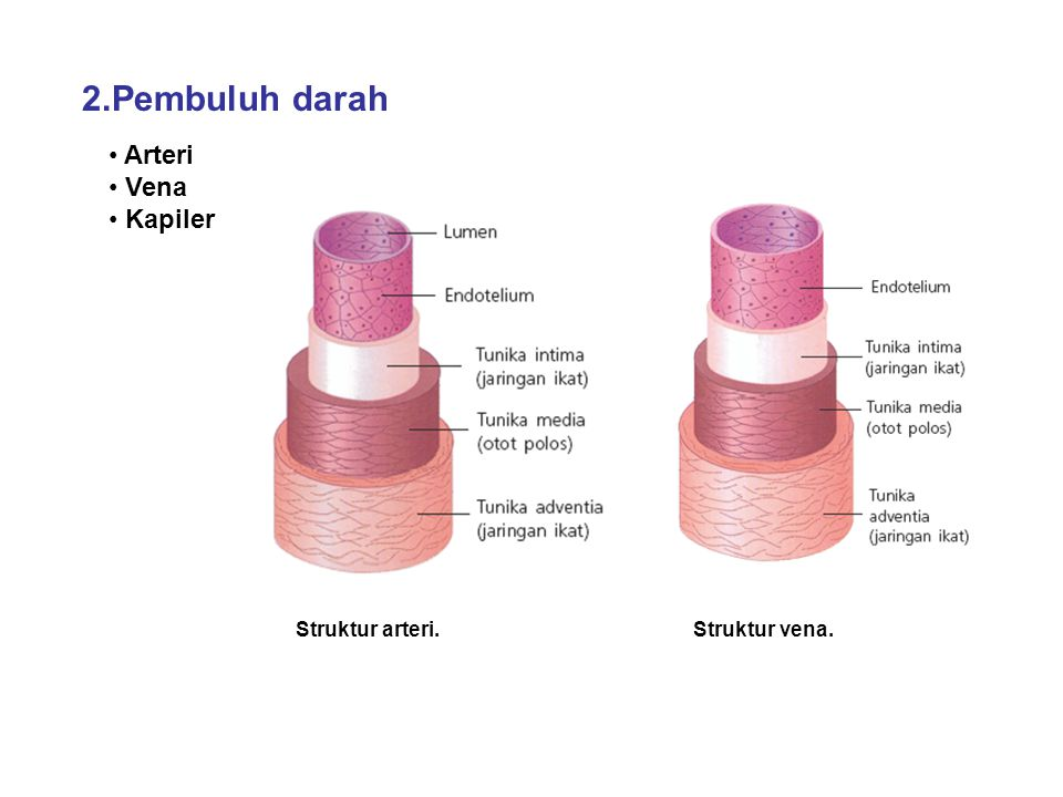 2.Pembuluh darah Struktur arteri. Arteri Vena Kapiler Struktur vena.