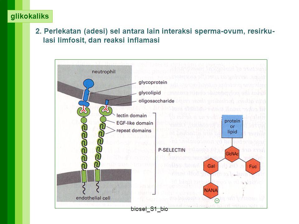 2. Perlekatan (adesi) sel antara lain interaksi sperma-ovum, resirku- lasi limfosit, dan reaksi inflamasi glikokaliks biosel_S1_bio