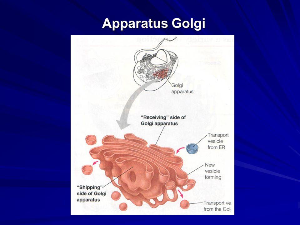Apparatus Golgi
