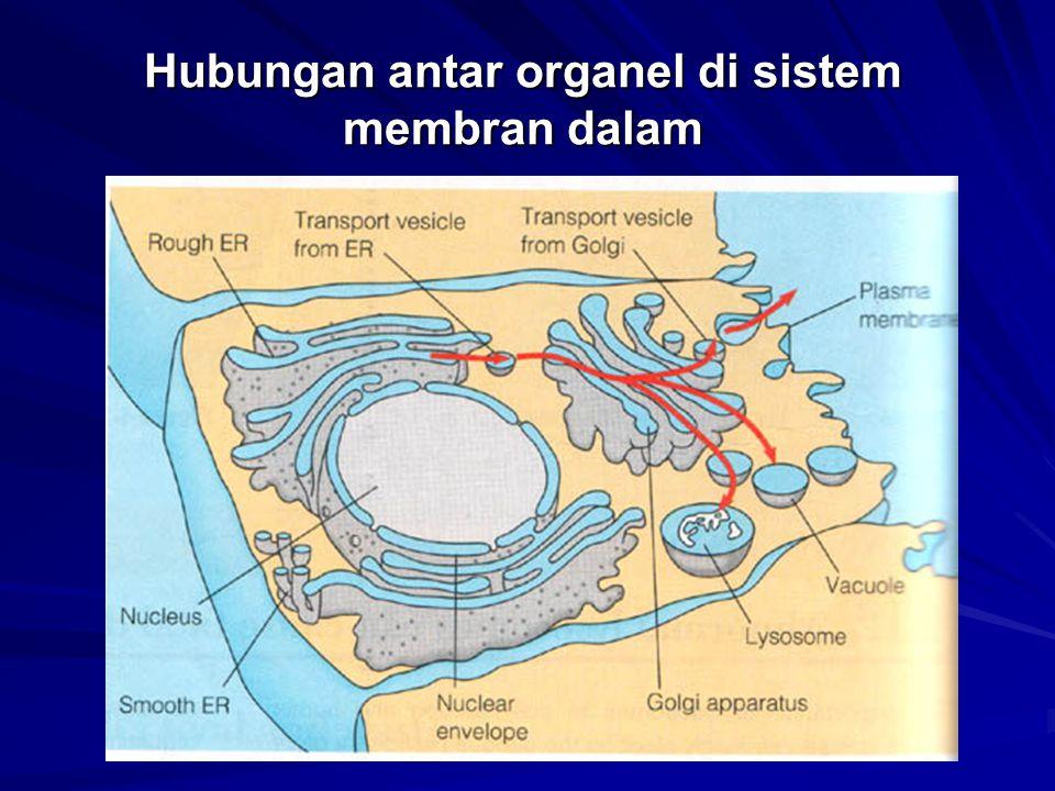 Hubungan antar organel di sistem membran dalam