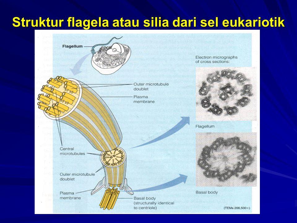 Struktur flagela atau silia dari sel eukariotik