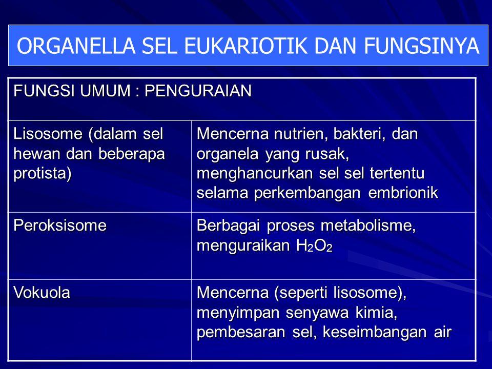 FUNGSI UMUM : PENGURAIAN Lisosome (dalam sel hewan dan beberapa protista) Mencerna nutrien, bakteri, dan organela yang rusak, menghancurkan sel sel tertentu selama perkembangan embrionik Peroksisome Berbagai proses metabolisme, menguraikan HO 2 Berbagai proses metabolisme, menguraikan H 2 O 2 Vokuola Mencerna (seperti lisosome), menyimpan senyawa kimia, pembesaran sel, keseimbangan air