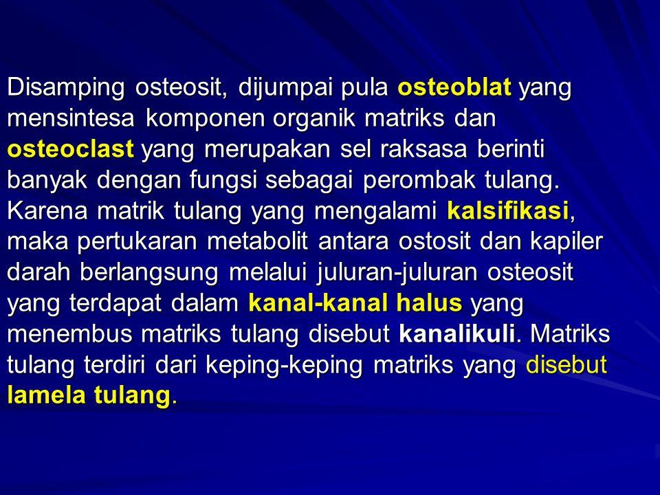 Disamping osteosit, dijumpai pula osteoblat yang mensintesa komponen organik matriks dan osteoclast yang merupakan sel raksasa berinti banyak dengan f